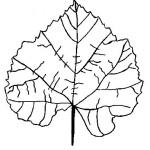 podzimni omalovanky  : podzimni listi 06 150x150 Podzimní listy