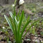 rostliny kvetiny kvetinky jarni tvoreni jarni omalovanky  : jarni bledule 150x150 Jarní květinové tvoření