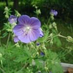 rostliny kvetiny kvetinky jarni tvoreni jarni omalovanky  : jarni kakost 150x150 Jarní květinové tvoření
