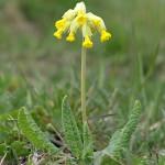 rostliny kvetiny kvetinky jarni tvoreni jarni omalovanky  : jarni petrklic 150x150 Jarní květinové tvoření