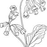 rostliny kvetiny kvetinky jarni tvoreni jarni omalovanky  : jarni petrklice 150x150 Jarní květinové tvoření
