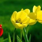 rostliny kvetiny kvetinky jarni tvoreni jarni omalovanky  : jarni tulipan 150x150 Jarní květinové tvoření
